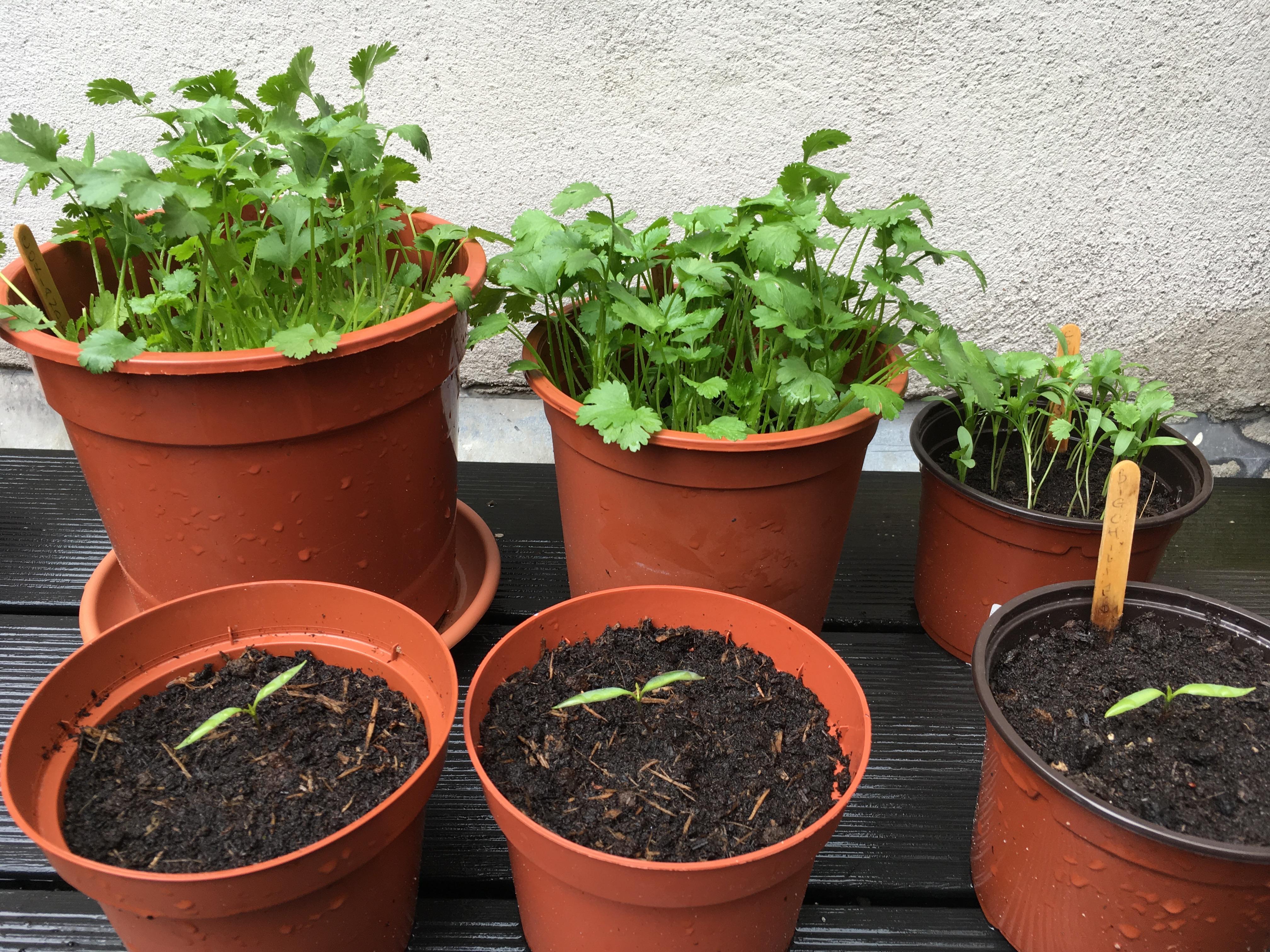 growing coriander in pots: the fun and the rewards | nightcactus