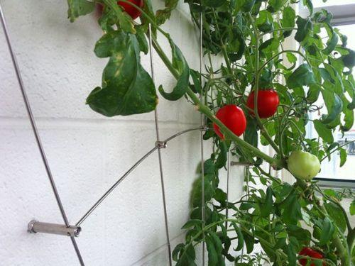 tomato Pinterest.jpg